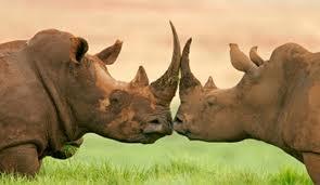 Rhinos-2
